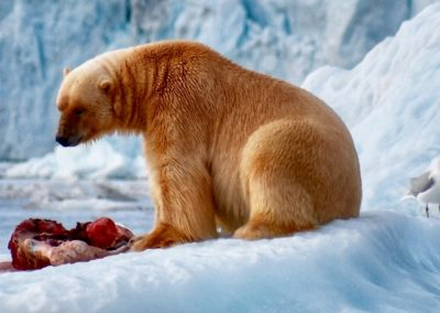 Polar Bear feeding - David Hwa