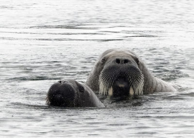 Walrus and calf